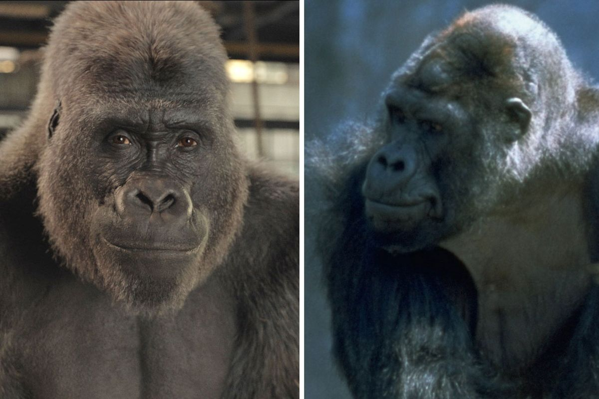 The One and Only Ivan True Story: Ano ang Malaman Tungkol sa Gorilla Who Who Inspired The Disney Plus Movie